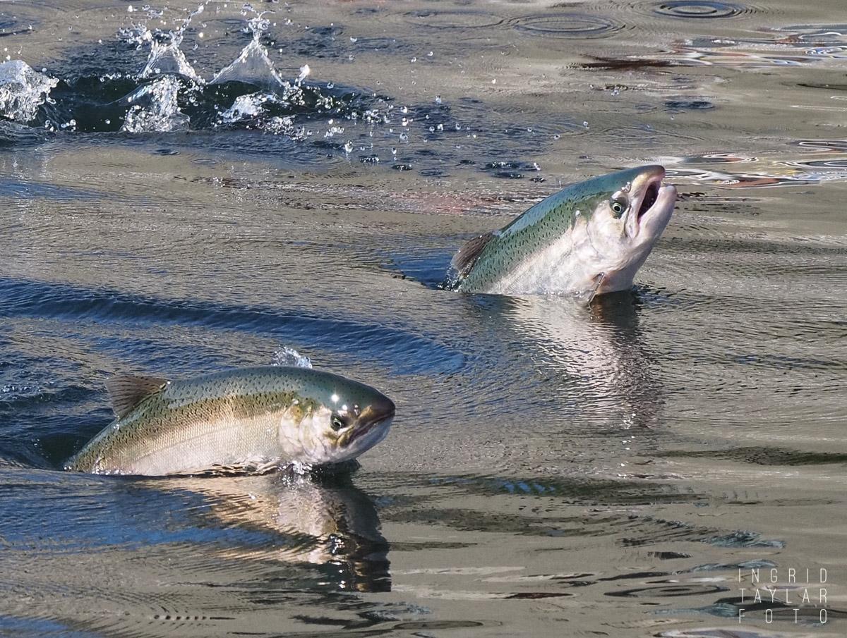 Salmon Jumping at the Ballard Locks Seattle