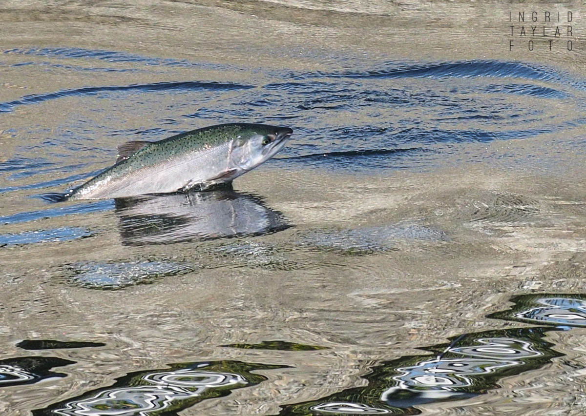 Salmon Leaping in Seattle