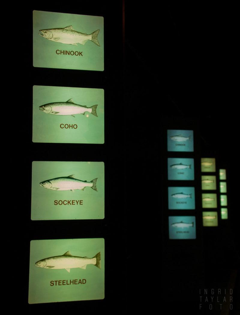 Salmon Displays at the Ballard Locks Seattle