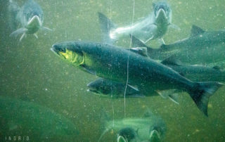 Salmon Run at the Ballard Locks Fish Ladder