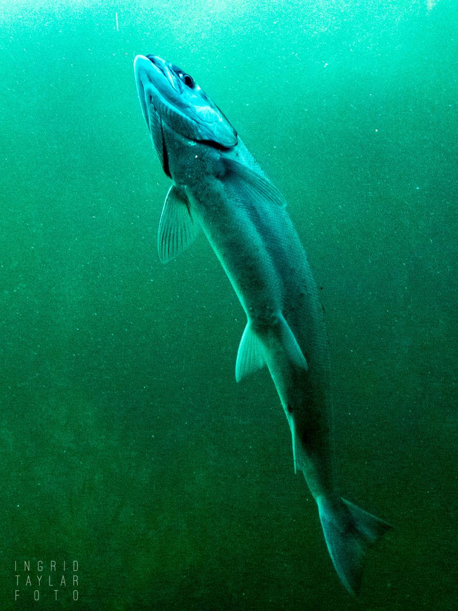 Salmon at the Hiram M. Chittenden Locks Fish Ladder