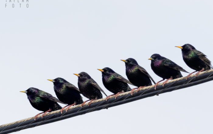 European Starlings on a Wire