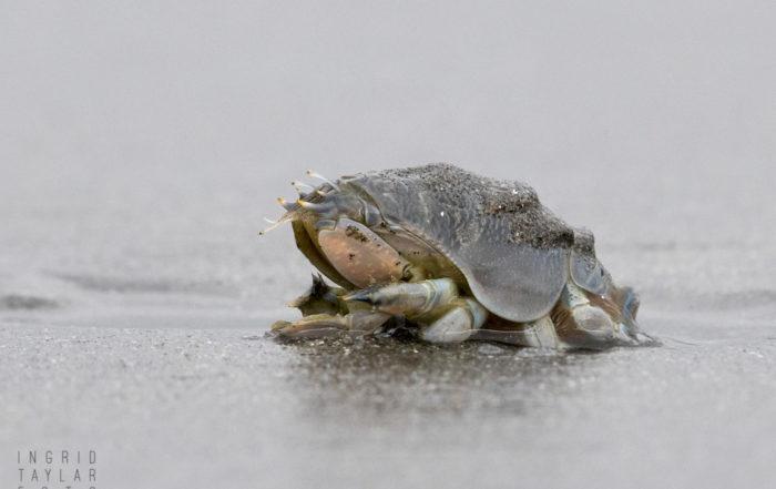 Pacific Mole Crab Detail