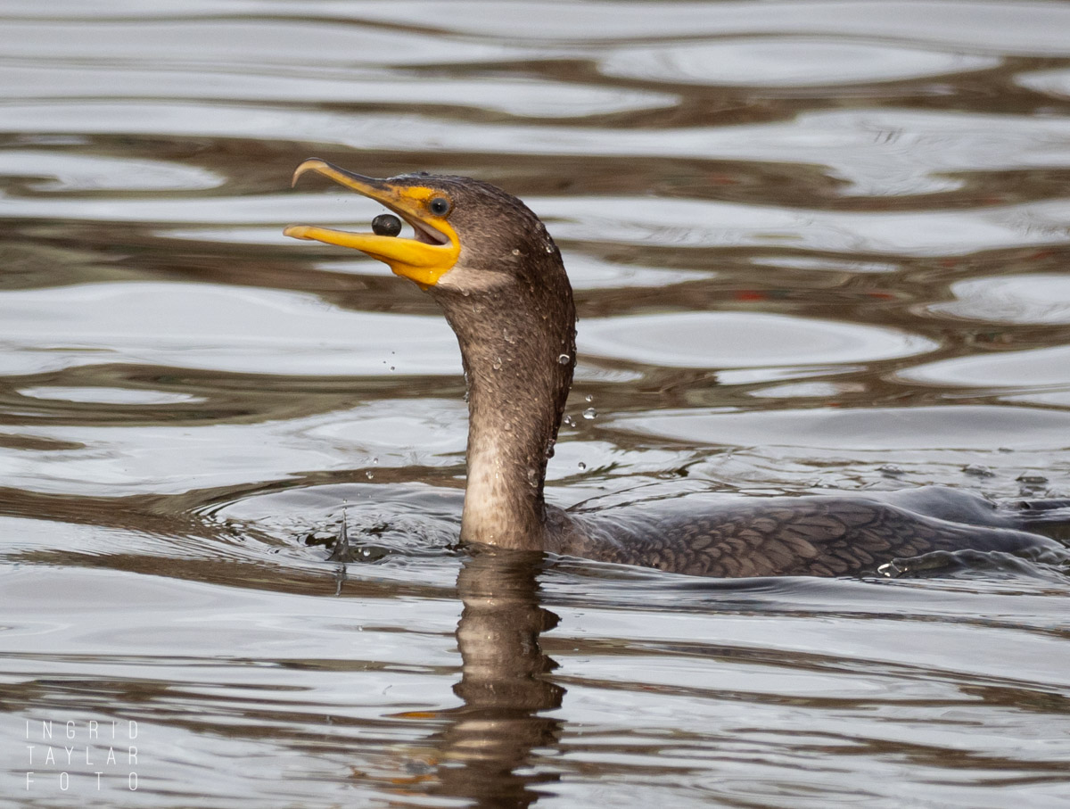 Double-Crested Cormorant fishing for rocks/grit