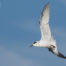 Forsters Tern in Flight