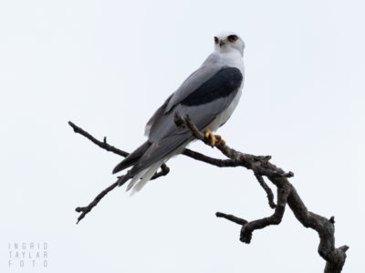 White-Tailed Kite on Tree in Del Valle
