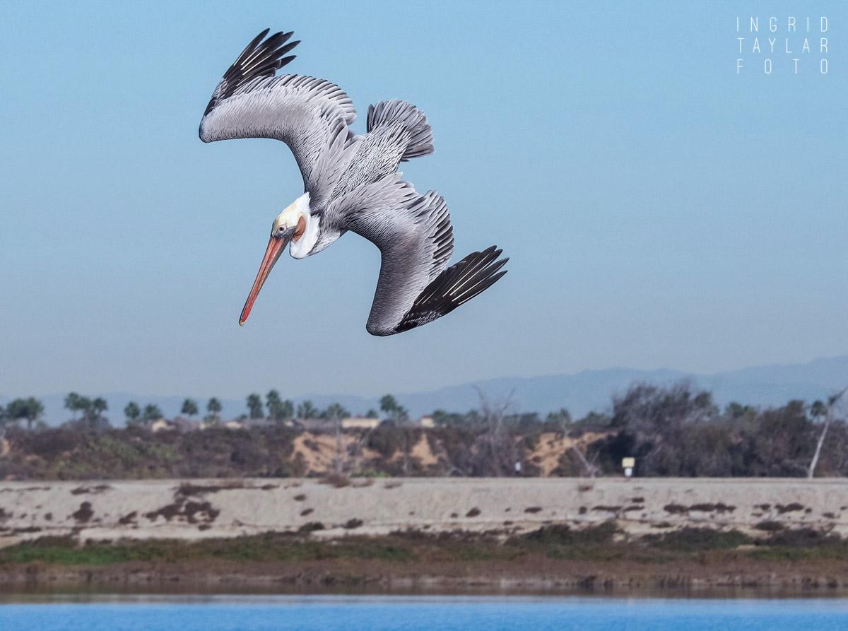 Pelican Dive at Bolsa Chica