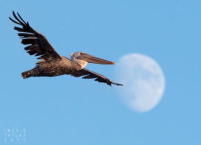 Brown Pelican Flying in front of moon