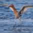 Reddish Egret Water Dancer at Bolsa Chica