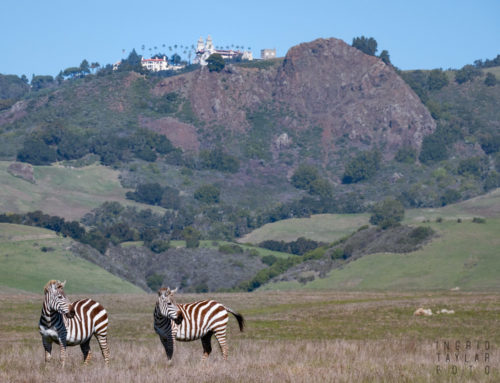 The Zebras of San Simeon + Hearst Castle