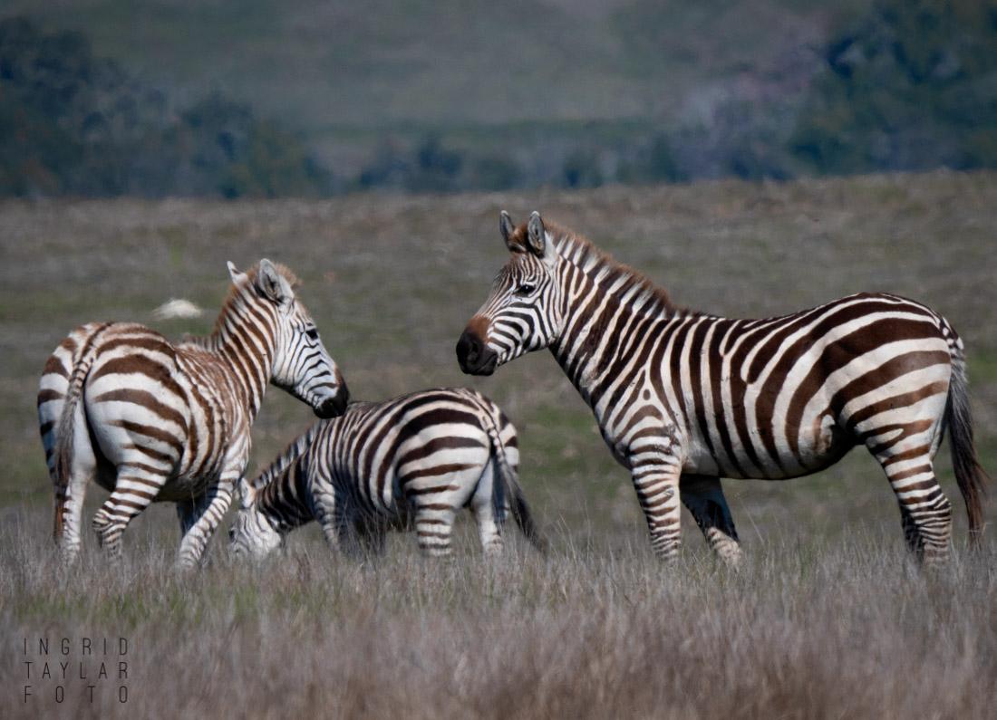 Zebras of Hearst Ranch