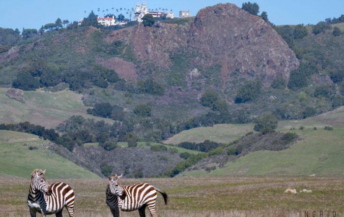Zebras of Hearst Castle