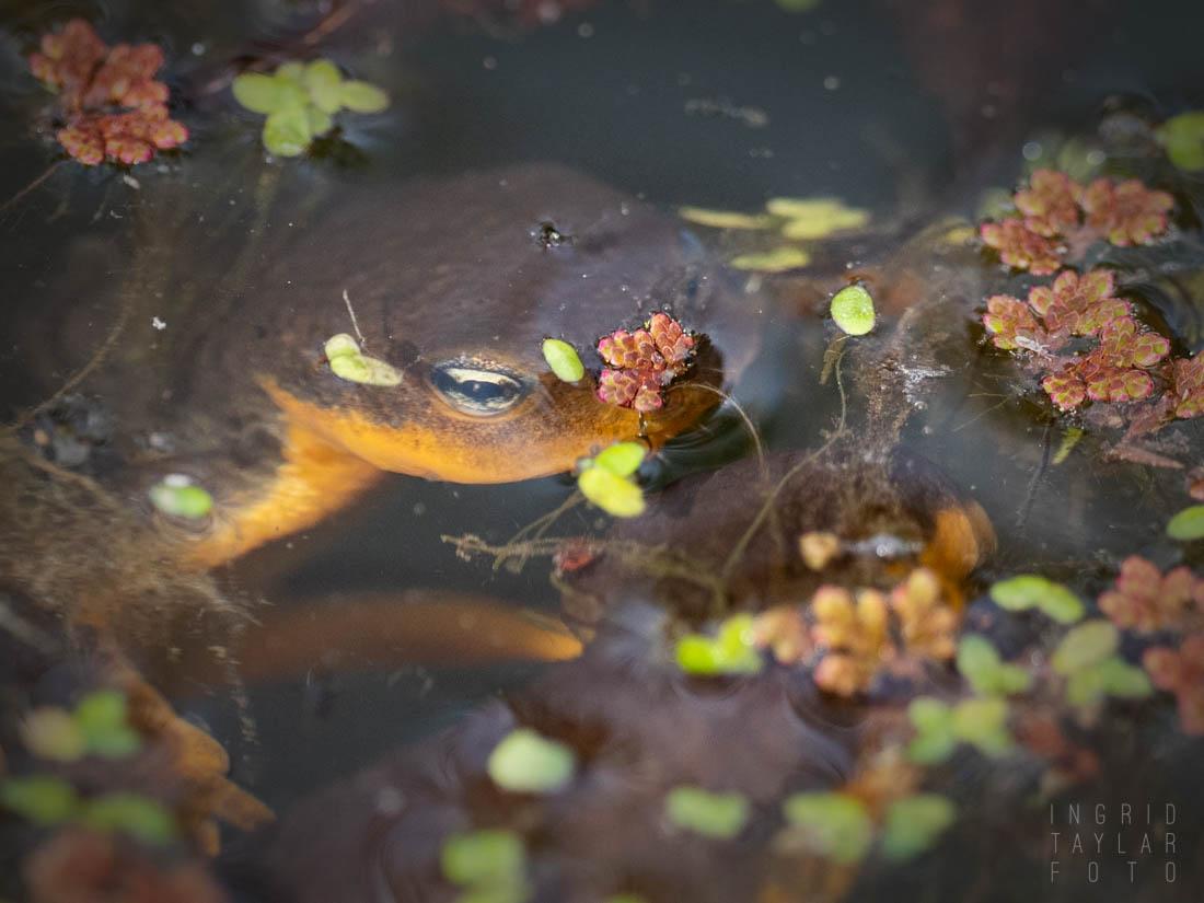 Newt Surfacing at UC Berkeley Botanical Garden