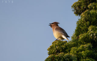 Cedar Waxwing Eating Juniper Berry