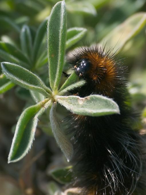 Platyprepia virginalis - Ranchman's Tiger Moth