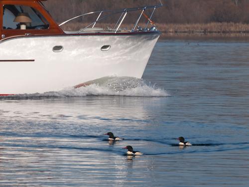 Ducks and Boats on Lake Washington