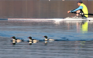 Common Mergansers and Rower on Lake Washington