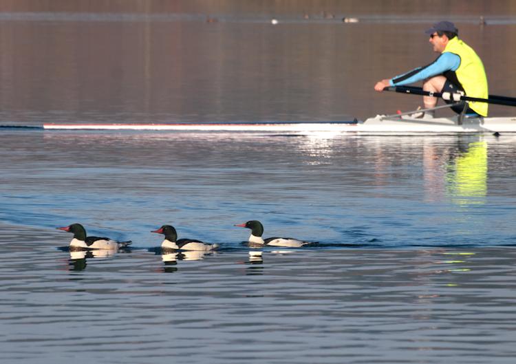 Common Mergansers and Rower on Lake Washington