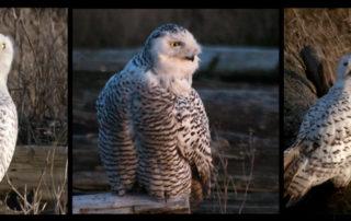 Snowy Owl Triptych
