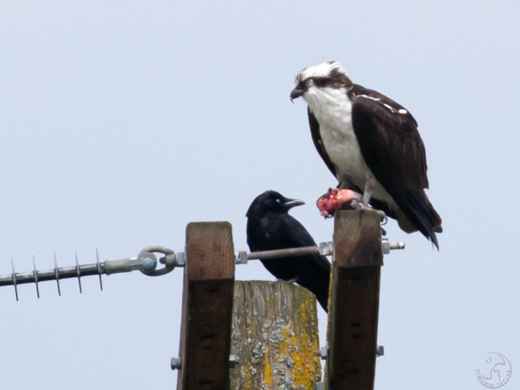 Osprey eating fish on utility pole