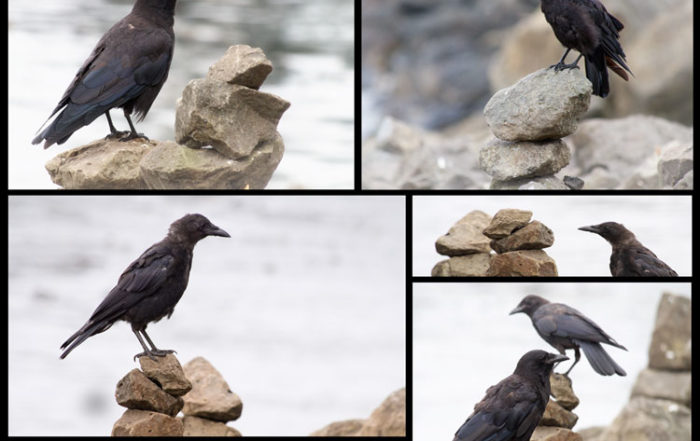 Crows Perched on Cairns in Seattle