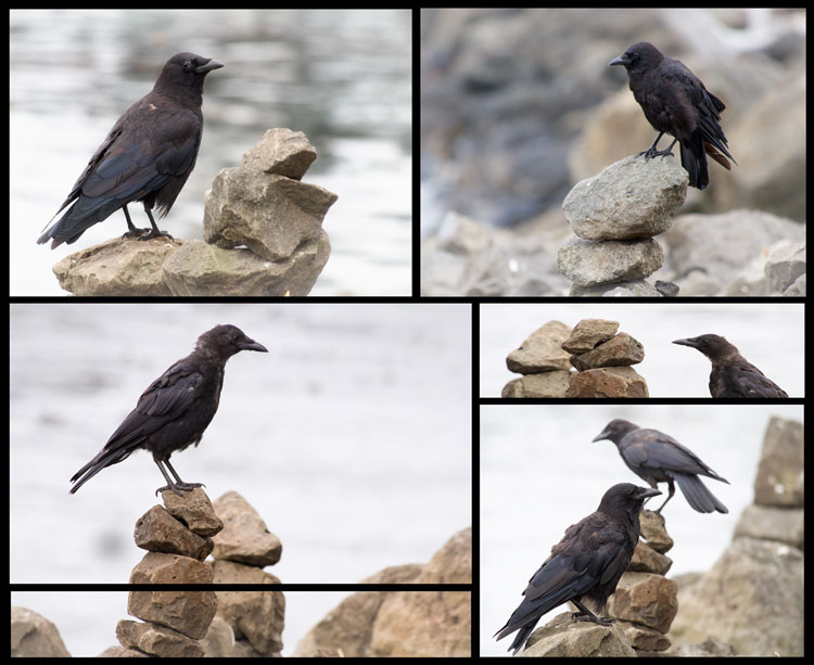 Crows Perched on Cairns