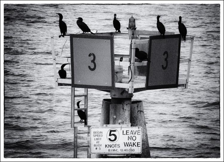 Cormorants on Buoy