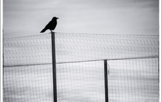 Crow Silhouette on Fencing