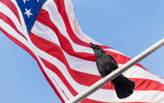 American Crow Against American Flag