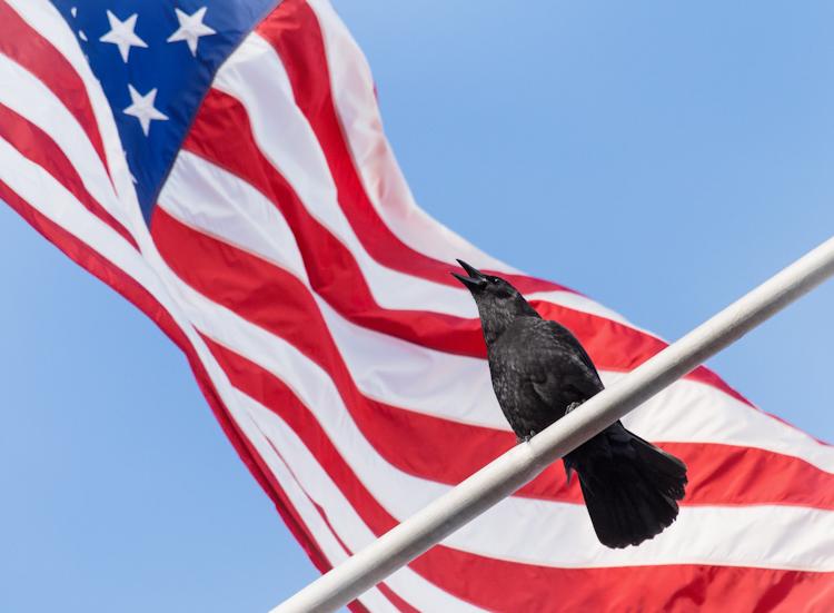 American Crow Against American Flag