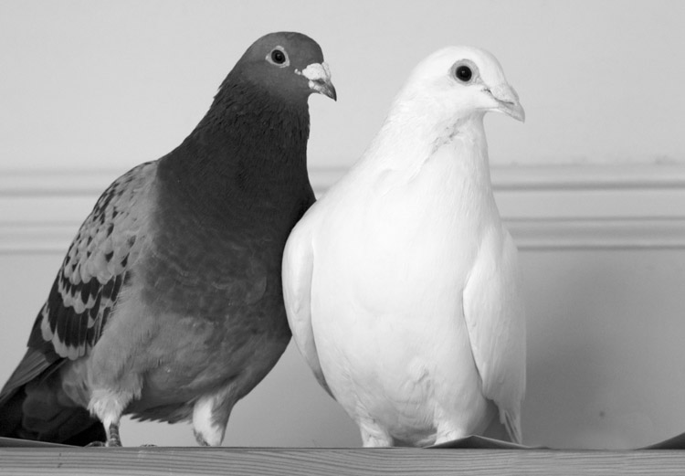 Blue and White Pigeon Pair 2