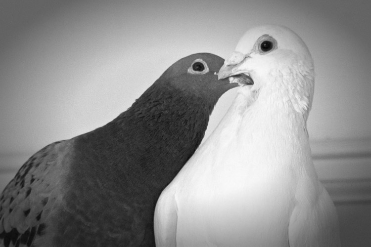 Blue and White Pigeon Pair