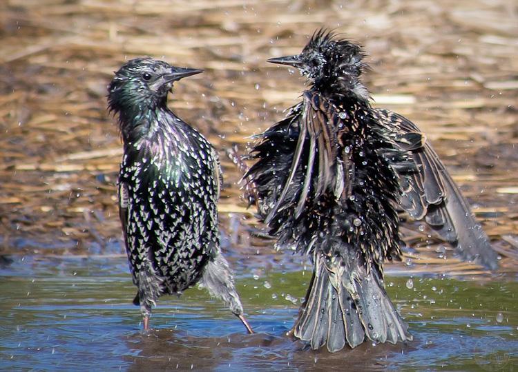 European Starling Bath 2