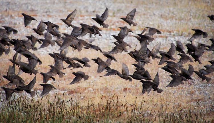 European Starling Flock 2