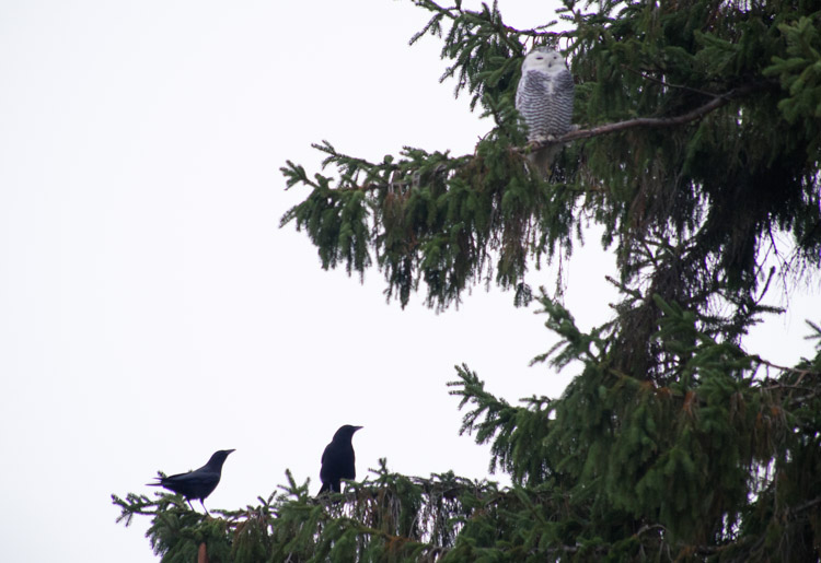 Snowy Owl and Crows