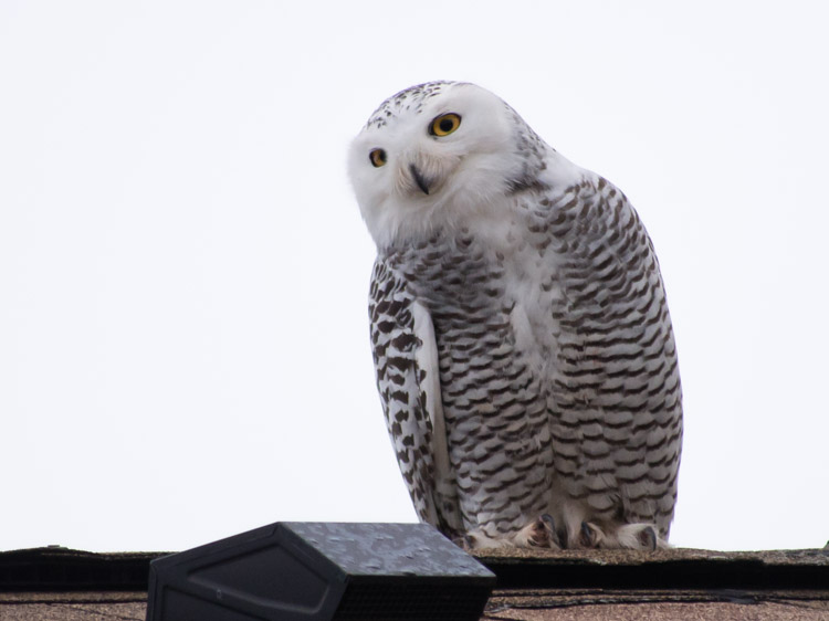 Snowy Owl in Ballard
