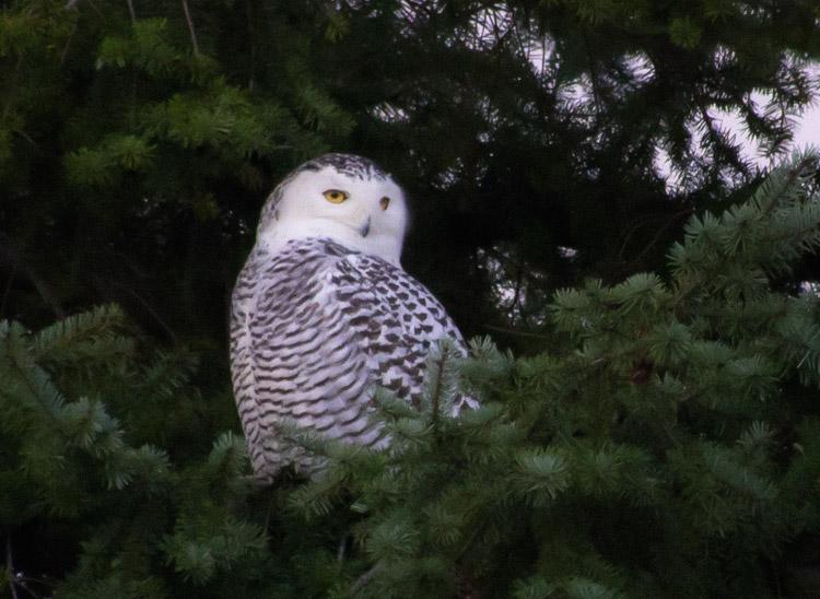 Snowy Owl in Evergreen Tree
