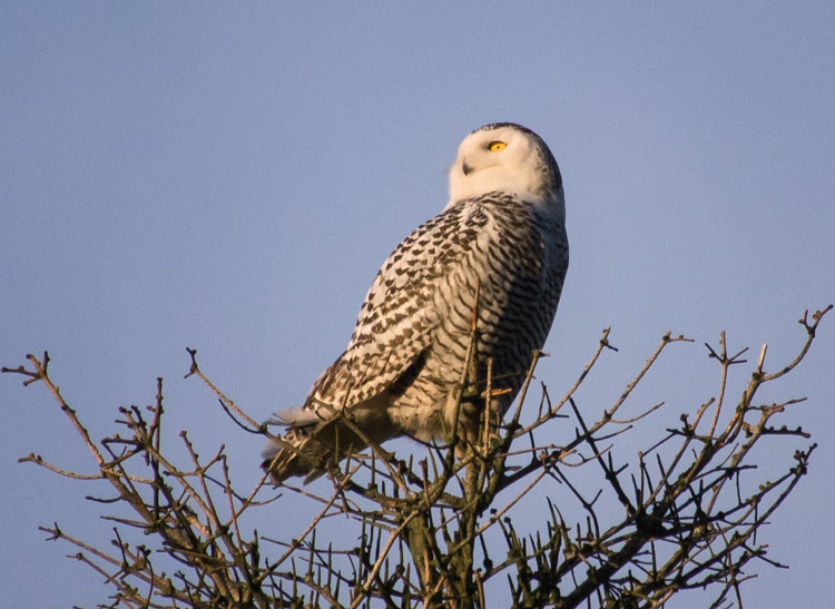 Snowy Owl in Seattle Tree