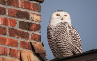 Snowy Owl on Ballard Rooftop