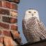 Snowy Owl on Ballard Rooftop