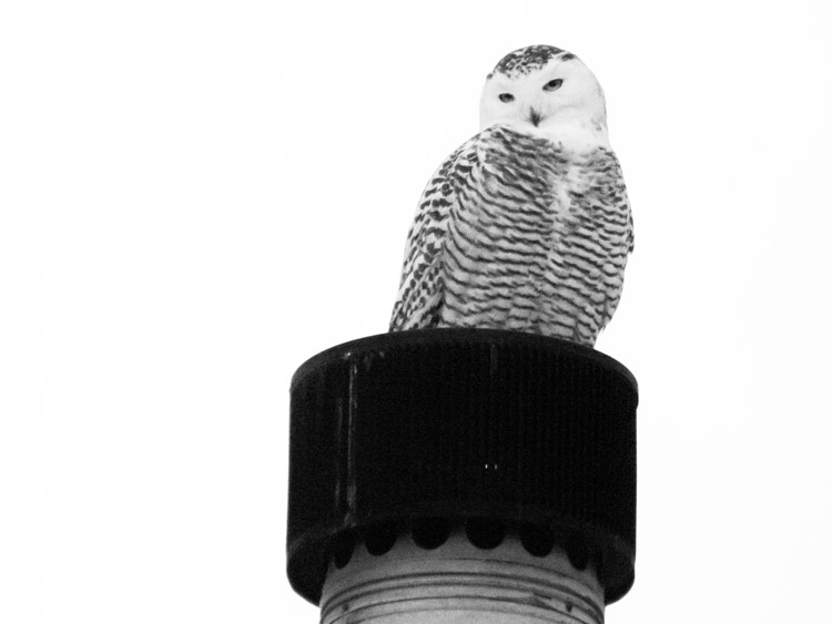 Snowy Owl on Chimney 2