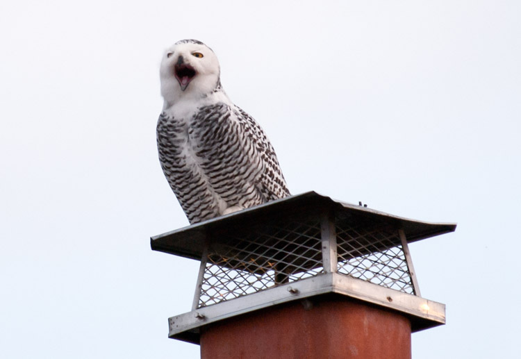Snowy Owl Yawning on Chimney