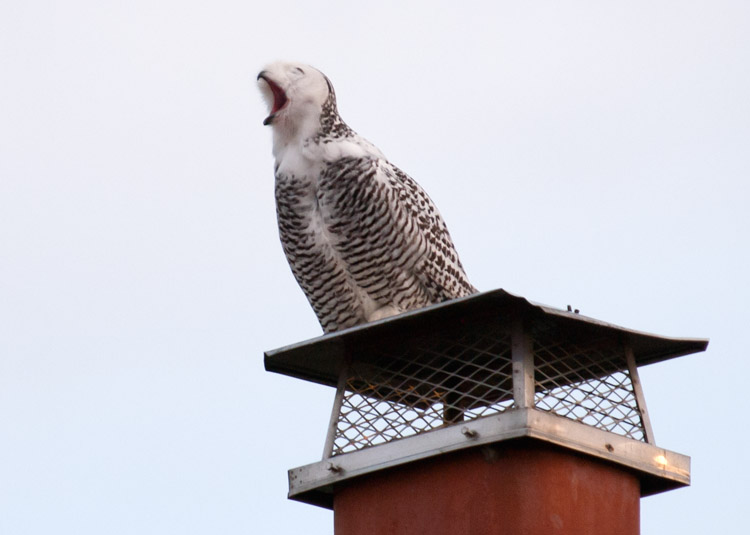 Snowy Owl on Seattle Chimney