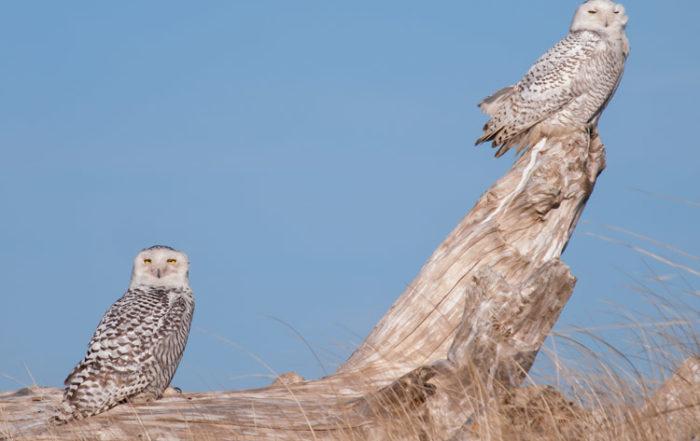 Snowy Owl Pair at Ocean Shores