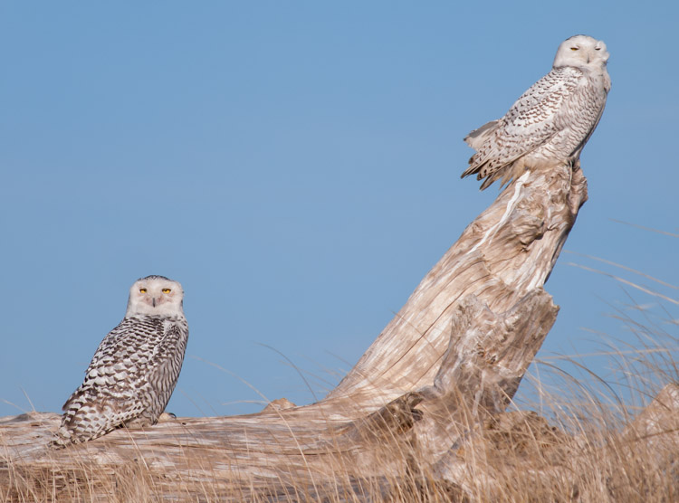 Snowy Owl Pair at Ocean Shores