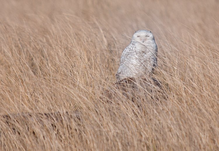 Snowy Owl in Tall Grass at Ocean Shores