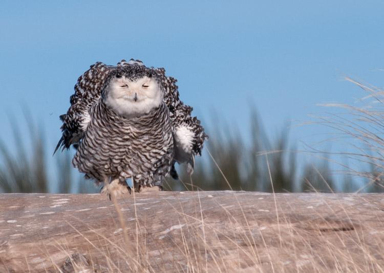 Snowy Owl at Ocean Shores