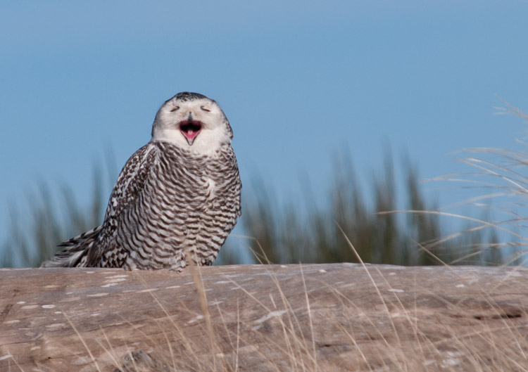 Snowy Owl Yawning at Ocean Shores