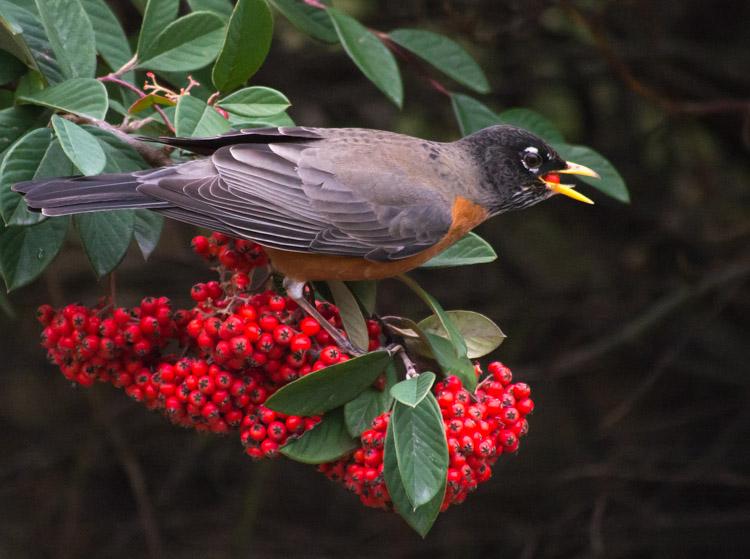 American Robin eating winter berries
