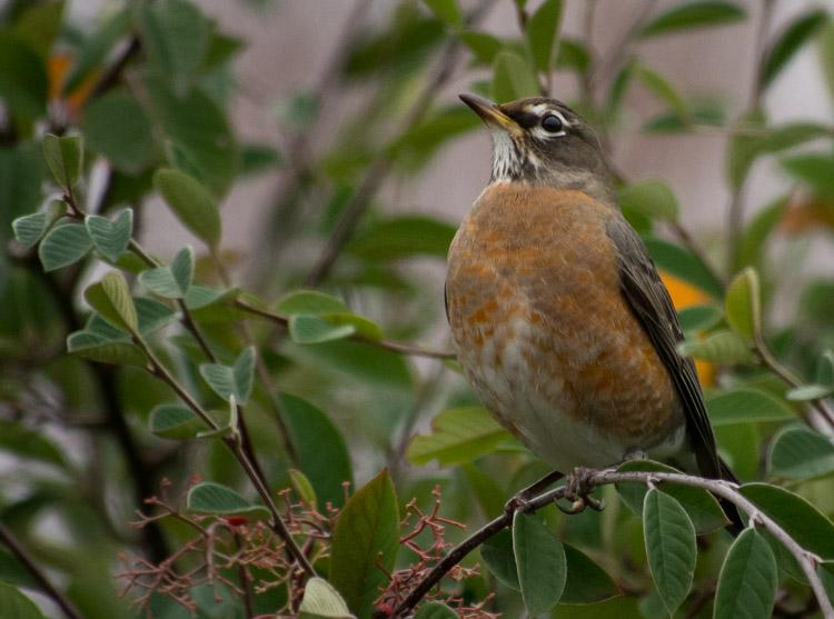 American Robin on Branch